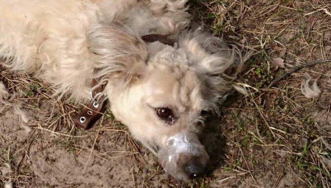 Стрижка связанной собаки в Вецмилгрависе: хозяйку оштрафовали на 7 евро