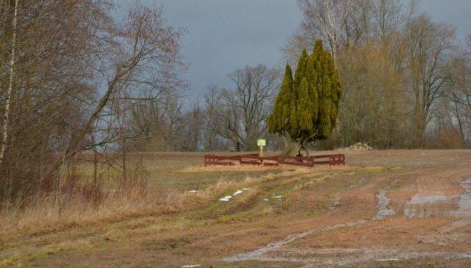 Foto: Rietekļa kadiķis Burtnieku novadā – brangākais visā Baltijā