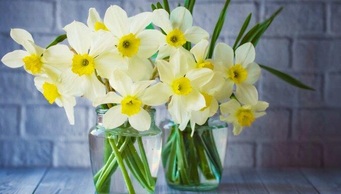 Pavasaris vāzē: floristes ieteikumi, kā ilgāk saglabāt grieztās narcises