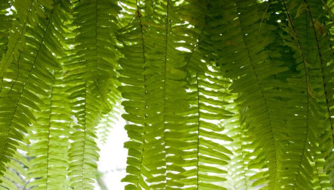 Mūžzaļās istabas papardes jeb nefrolēpes – kā tās pareizi audzēt?