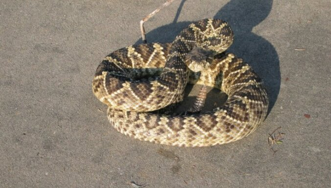 Змея смертельно укусила ведущего программы со змеями