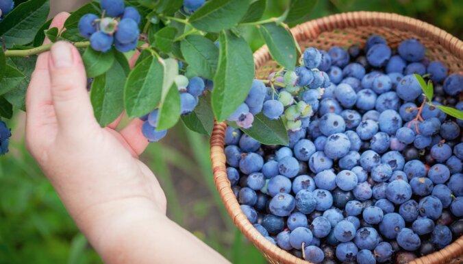 10 фермерских хозяйств в Латвии, где можно собрать голубику своими руками