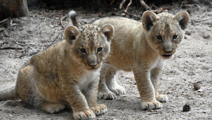 Дети могут дать имена львятам: Рижский зоопарк объявил конкурс