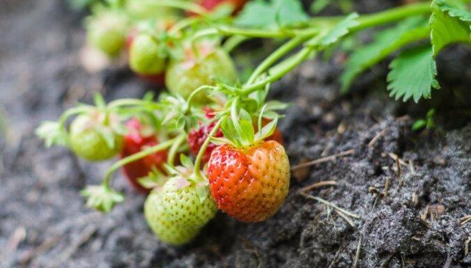 Saldas un sulīgas – ieteicamās zemeņu šķirnes audzēšanai Latvijā