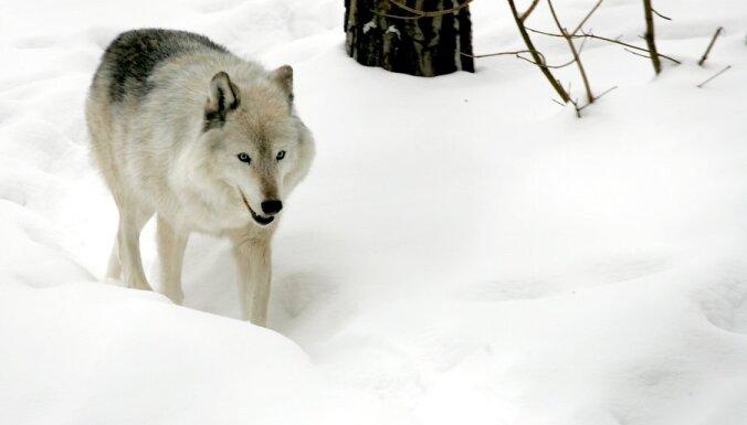 В Швеции запретили охоту на волков