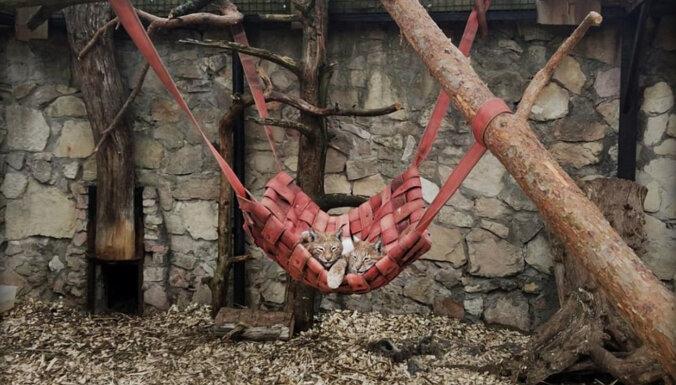 Для животных в Рижском зоопарке сделали качели из старых пожарных шлангов