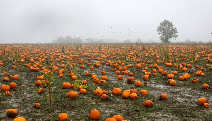 Foto: Oranžo ogu lauki – iespaidīgās ķirbju plantācijas Lielbritānijā
