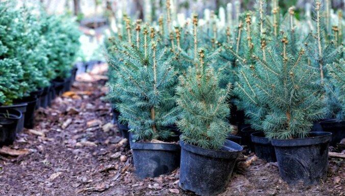 LVM pērn realizējusi rekordlielu apmēru koku stādu – 56,3 miljonus