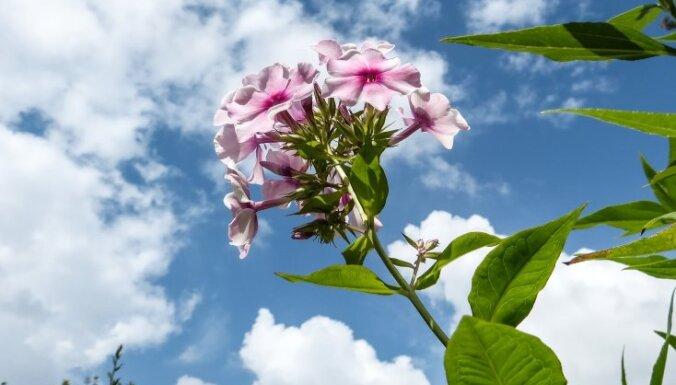 Все о цветах. Флоксы: посадка, уход, размножение и борьба с вредителями