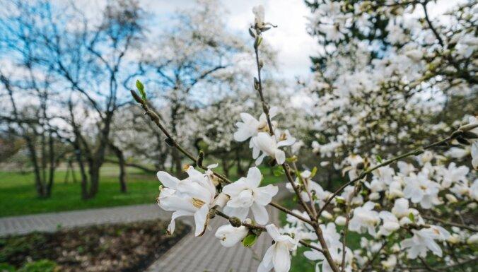 Foto: Pārdaugavā krāšņi zied lielākā magnoliju kolekcija Latvijā