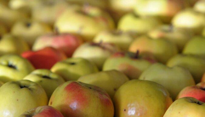 Загадка ковра из яблок в ирландском саду: что же произошло?