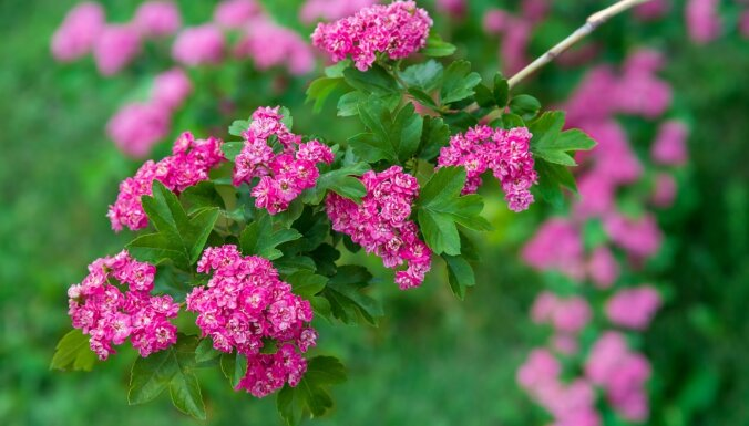 Vilkābele – ne tikai skaistam dārzam, bet arī stiprai veselībai