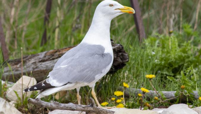 Хозяйственная деятельность Рижского порта не мешает водоплавающим птицам вить гнезда