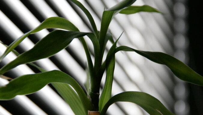 Veiksmes bambuss jeb Sandera dracēna – kā to audzēt mājās?