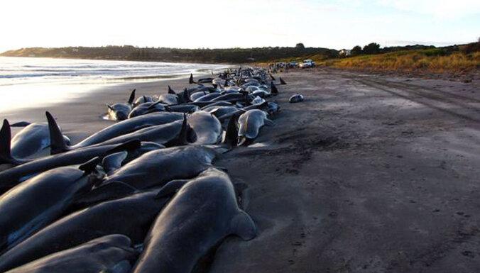 У берегов Тасмании погибли 380 дельфинов, выбросившихся на берег. 50 удалось спасти