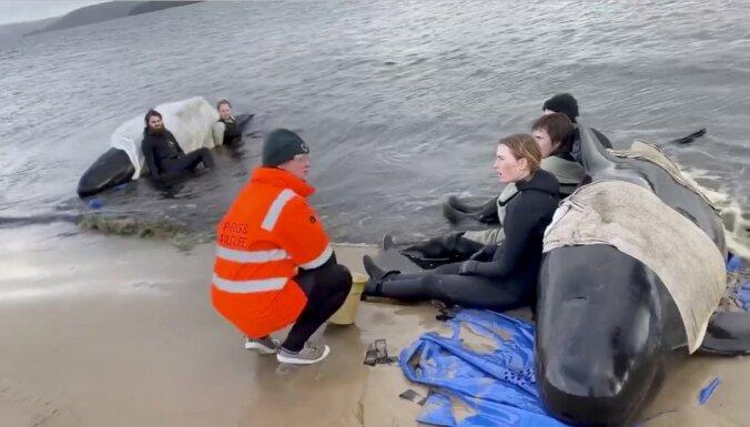 Glābējiem Tasmānijā izdevies izglābt 108 vaļus
