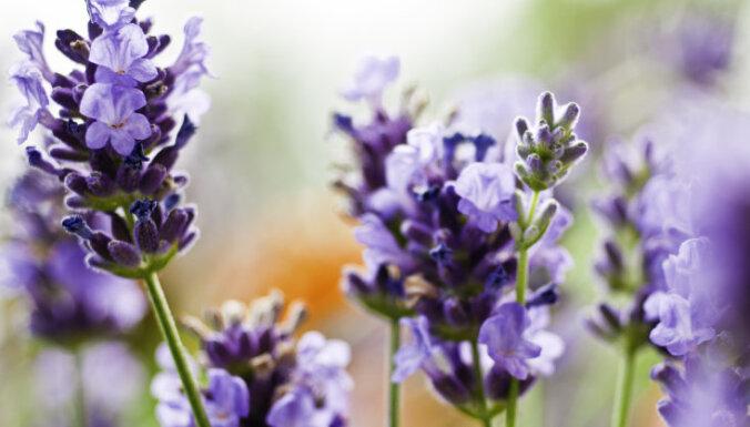 Romantikas un harmonijas nesējas lavandas audzēšanas padomi