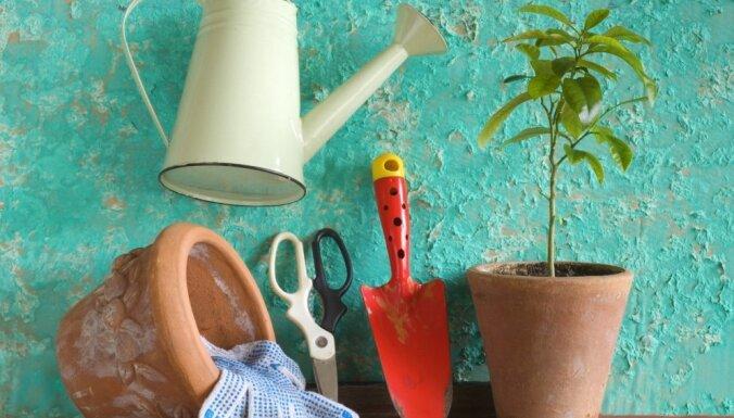 Kā uz palodzes izaudzēt citronkoku?