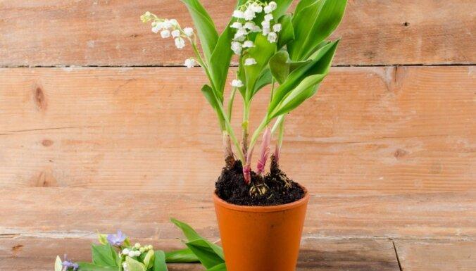 Ziedošas maijpuķītes podiņā – kā tās pārstādīt dārzā un uzziedināt ziemā