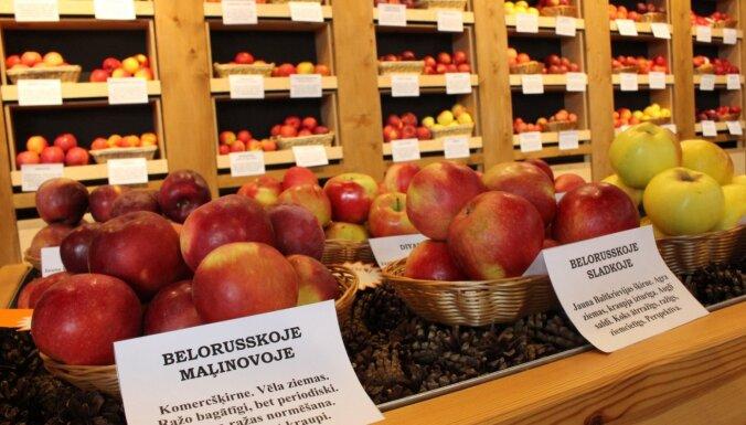 Izstādē Rīgā gozējas vairāk nekā 100 dažādu ziemas ābolu un bumbieru