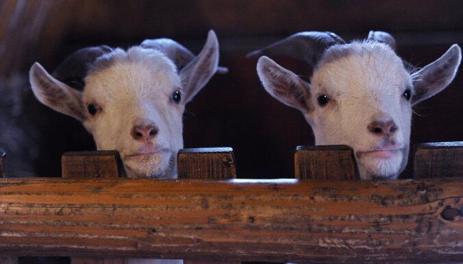 Latvijas pierobežā apstiprina saslimšanu ar aitu un kazu bakām