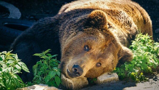 Медведей под Валкой будут отпугивать светом и фейерверками