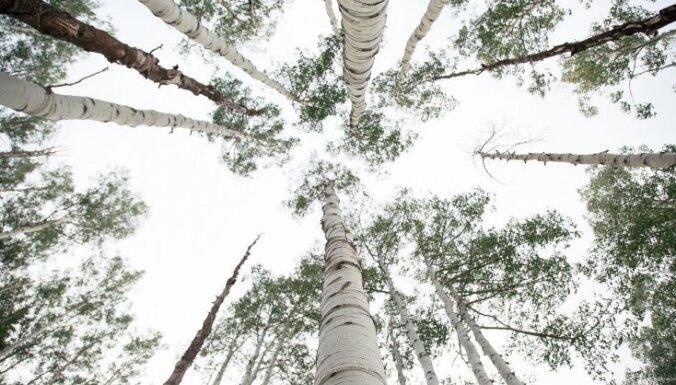 Деревья-талисманы: о чем просить сосну и почему полезно обнимать березу