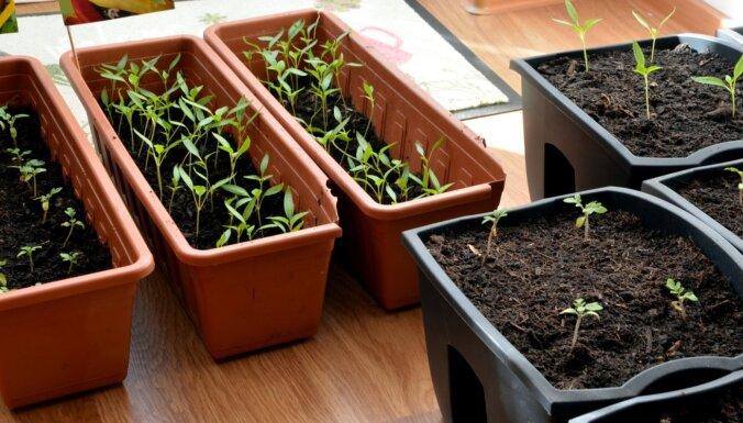 Sējas saraksts, augļukoku aprūpe un speciālistu ieteikumi: dārza darbu apkopojums februārī