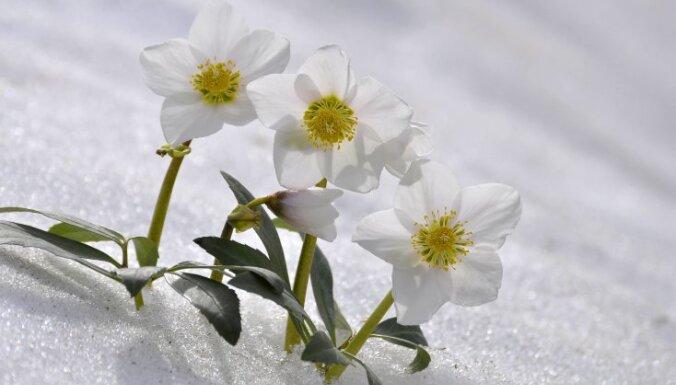 Морозник: король снегов и первенец весны. Его посадка и уход