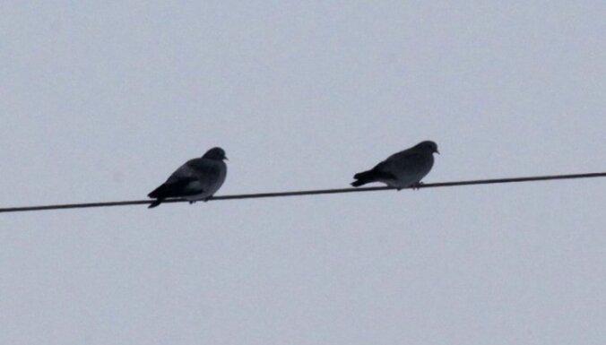 В Курземе замечены первые перелетные птицы