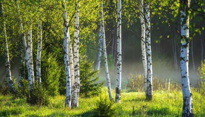 25. augustā notiks bezmaksas seminārs par ātraudzīgo koku sugu audzēšanu un apmežošanu