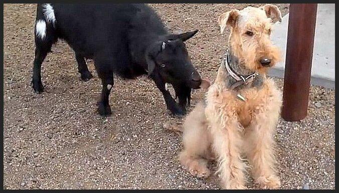 Interneta hits: Jocīga kaza agresīvi laiza vienaldzīgu suni