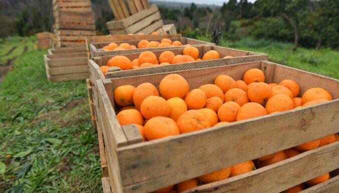 No audzēšanas mājās līdz pat ietekmei uz veselību: viss par mandarīniem