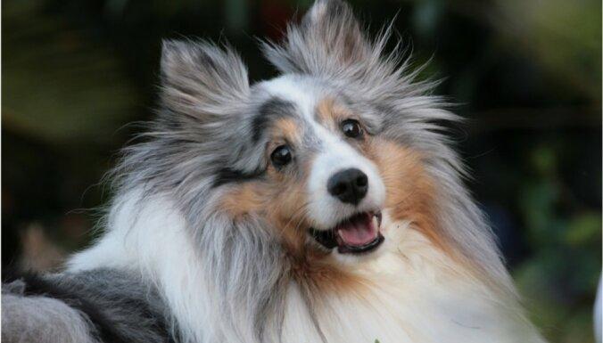 Pilsētas dzīvoklim piemērotas suņu šķirnes. Iesaka kinoloģe