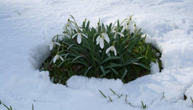 Kā pareizi audzēt un pārstādīt sniegpulkstenītes