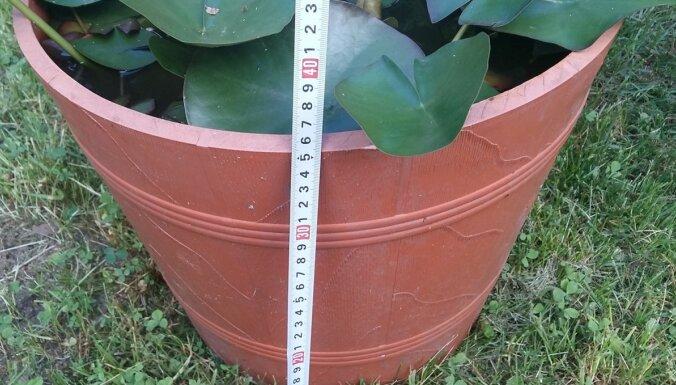 Pieredzes stāsts: ūdensrožu audzēšana nelielos traukos