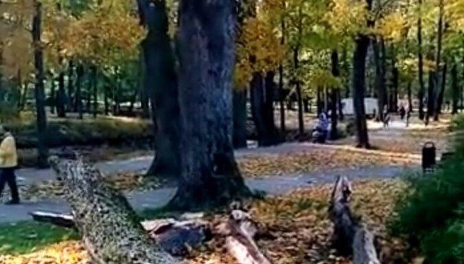 Сильный ветер повалил деревья в центре Риги