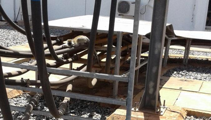 Pērtiķis izraisa nacionāla mēroga elektrības pārtraukumu Kenijā