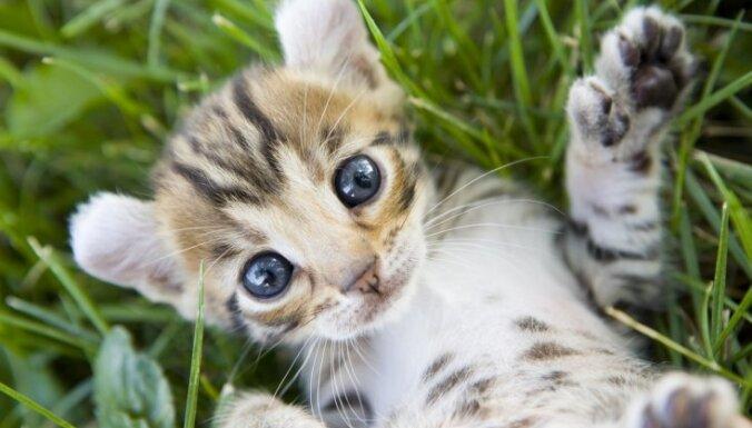 Kaķu pasaules Pīters Pens – Amerikas sprogausu kaķis