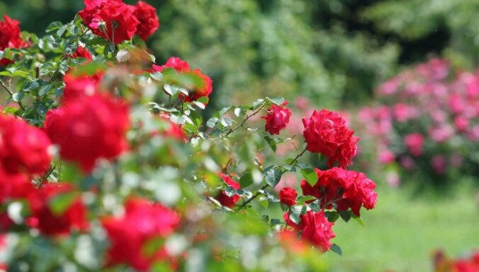 Atcelti tradicionālie rožu svētki Tukumā