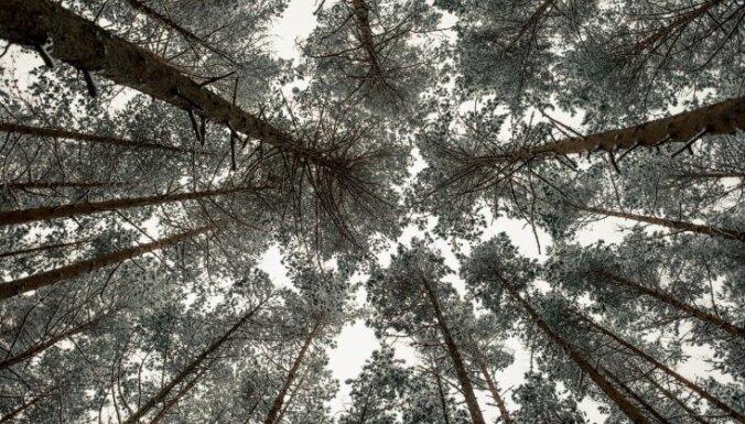 Par 2017. gada koku izvēlēta latviešu kultūras simbols – parastā priede
