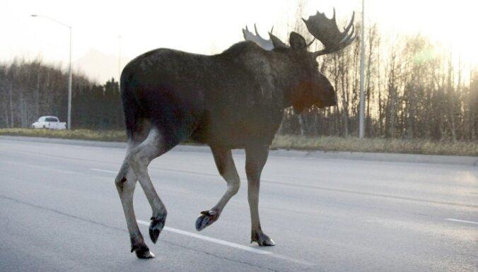 Rīgā šorīt iemaldījies alnis ceļā uz mežu nomiris