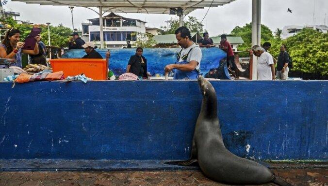 Dīvaini foto: Jūras lauva atnāk uz zivju tirgu