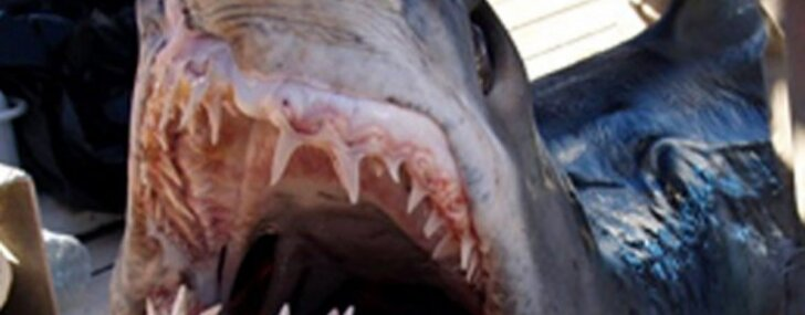 Мексиканец обнаружил одноглазую акулу-альбиноса