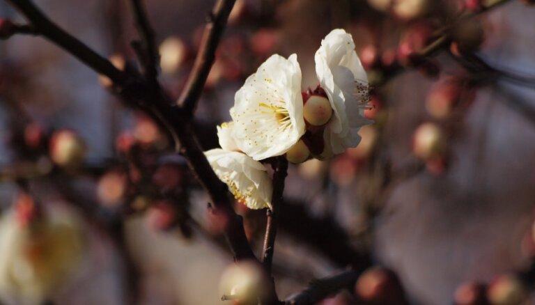 Plūmju audzēšana augļu dārzā – šķirnes, stādīšana un kopšana
