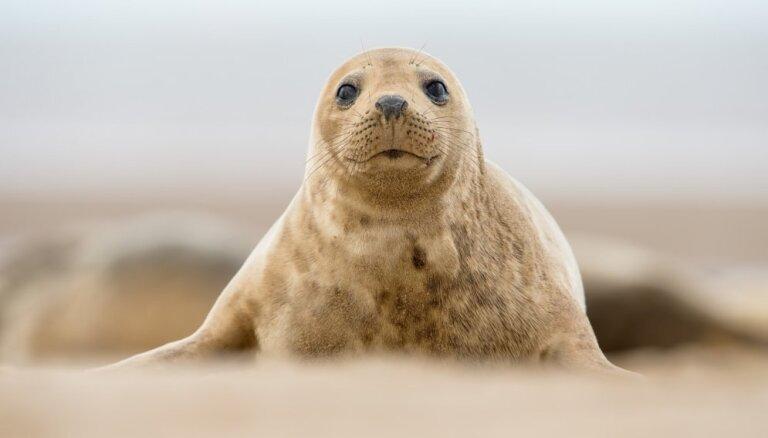 Saulkrastu pludmalē atrasts šogad pirmais ronēns
