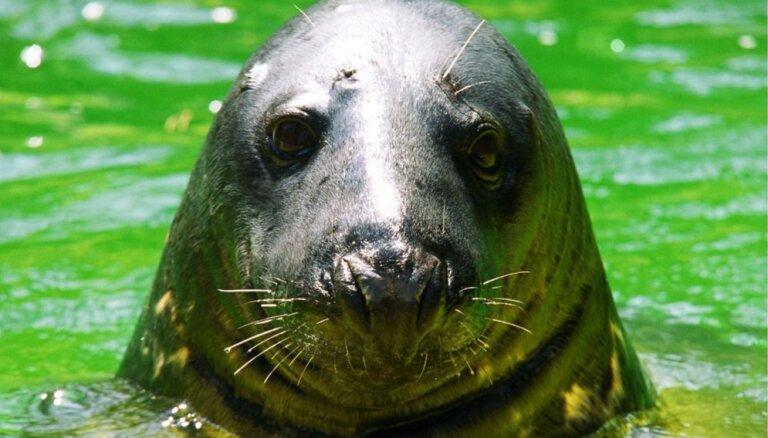 Rīgas zoodārzā sveiks vienu no ilggadīgākajiem iemītniekiem – roni Puiku