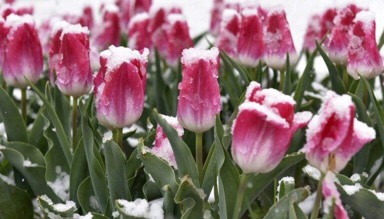ФОТО, ВИДЕО: 3 мая на севере Латвии выпал снег