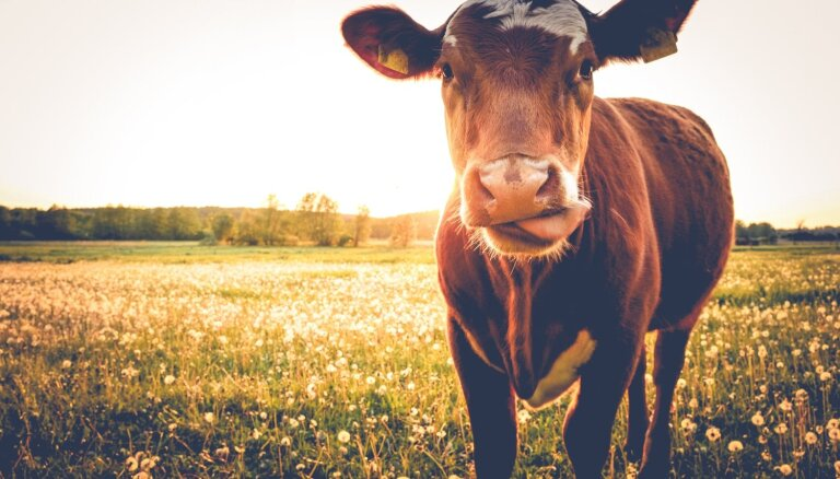 Šokolādes piens rodas no brūnajām govīm: smieklīgas aplamības, ko bērniem teikuši vecāki