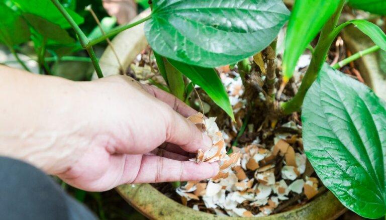 Neizmet ārā! Ieteikumi, kur dārzā un mājā izmantot olu čaumalas